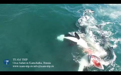 カムチャッカ半島でシャチがミンククジラを捕食
