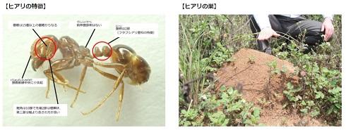 ヒアリ 在来種