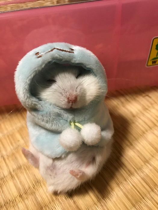 ポンチョを着て眠るハムスターがかわいい