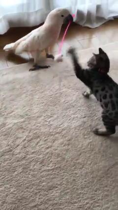 オウムの猫じゃらし