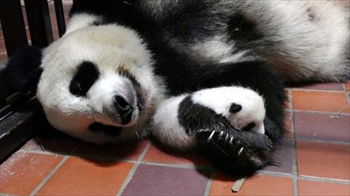 上野動物園ジャイアントパンダの赤ちゃん名前募集