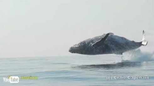クジラ ジャンプ ブリーチング