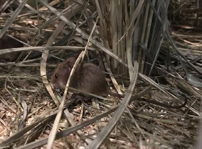 琵琶湖博物館 カヤネズミ