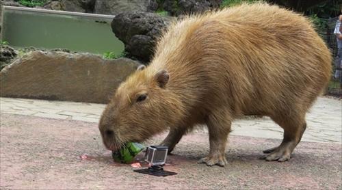 カピバラのすいか早食い