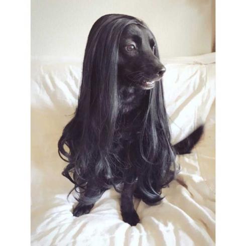 甲斐犬 ウィッグ 洋犬