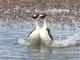希少な鳥パタゴニアカイツブリの求愛ダンスがヘドバン・タンゴでノリノリ 世界で初めて詳細に撮影される