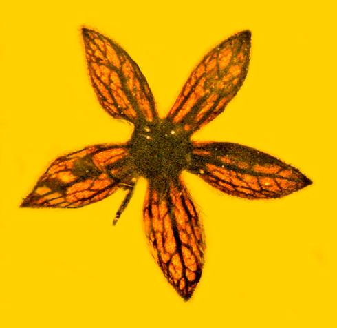 ミャンマーの琥珀から1億年前(白亜紀)の新種の花「Tropidogyne pentaptera」発見