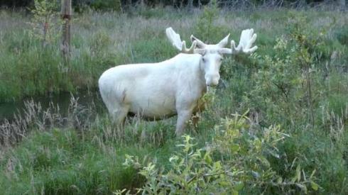 白 ヘラジカ