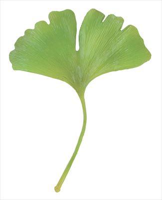 イチョウ(緑色)