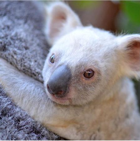 オーストラリアではじめての白いコアラが誕生