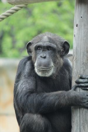 京都大学チンパンジーがじゃんけんを学習
