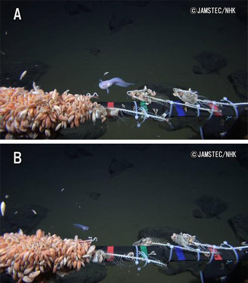 マリアナ海溝水深8178メートルで魚類を撮影。世界最深映像記録を更新