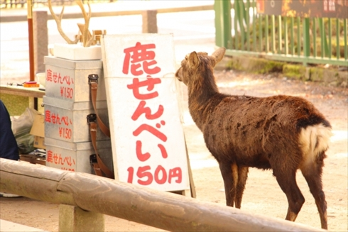 宮島 廿日市 鹿 鹿せんべい 奈良 広島 シカ