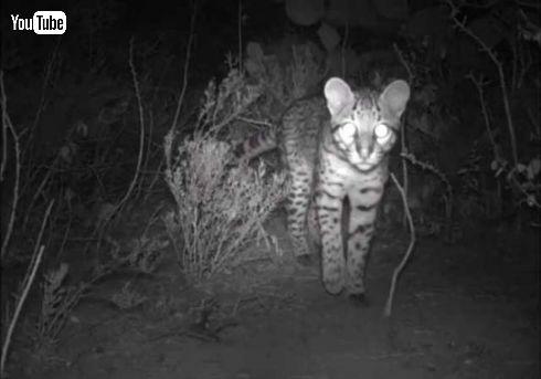 オセロット ネコ科 絶滅危惧種 カメラ