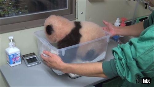 上野動物園ジャイアントパンダ