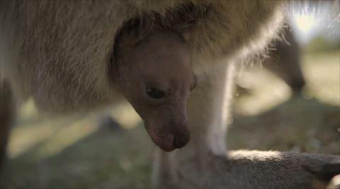 カンガルー 赤ちゃん