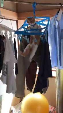 猫 洗濯物 渡る アクロバティック イタズラ