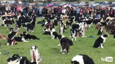 ボーダー・コリー 犬 集団 世界記録