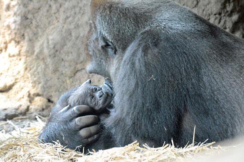赤ちゃんを抱くお母さんゴリラの写真