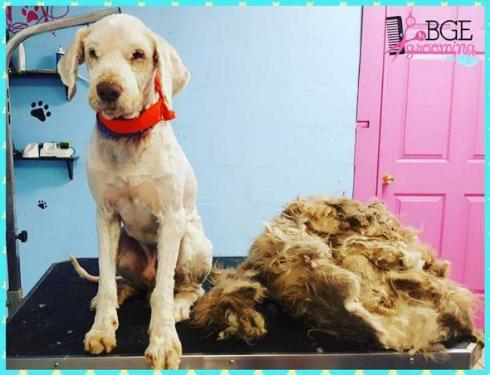犬 モフモフ 毛 さっぱり ビフォー・アフター