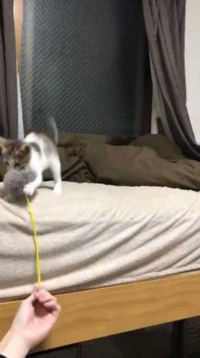 連動 子猫 猫じゃらし 狙う