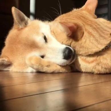 猫 柴犬 添い寝 理想