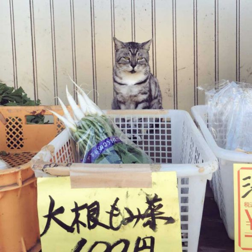 野菜 有猫販売 店員 猫