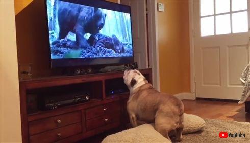 ディカプリオのことが大好きなわんちゃん 映画「レヴェナント」鑑賞中に凶暴クマと一触即発