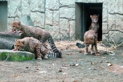 多摩動物公園チーター