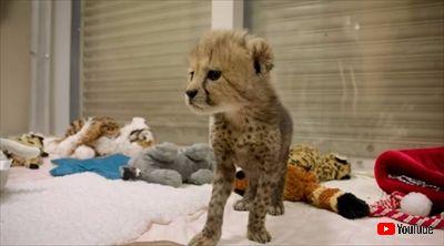 サンディエゴ動物園チーター