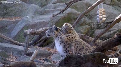 ブロンクス動物園ユキヒョウの子ども