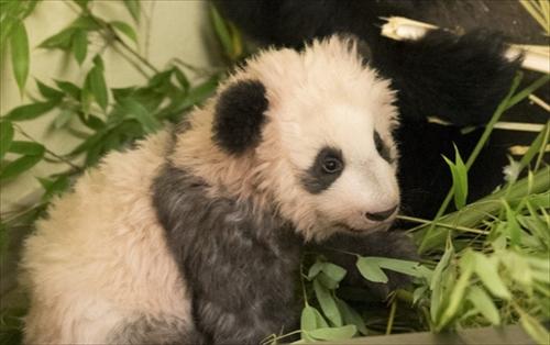 ボーヴァル動物園パンダの赤ちゃん