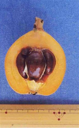 農水省「ビワの種子食べないで」 Web上で出回っているレシピに対しても注意を呼びかけ