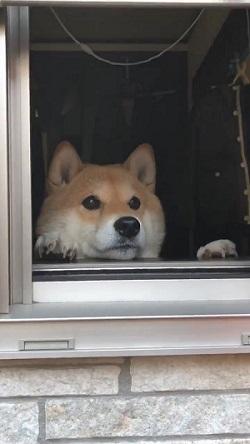 トントン ノック おはよう 柴犬 ハナちゃん