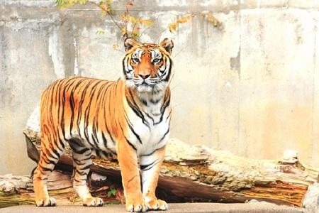 虎の前足のシマ