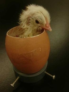 ひよこ 孵化 50時間観察 ニコ生 信州大学農学部