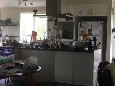 キッチンにヤギ