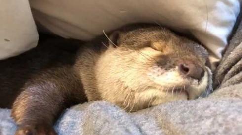 カワウソ さくら 布団 寝るまで 添い寝