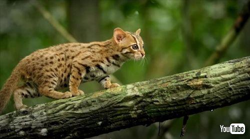 世界一小さい猫