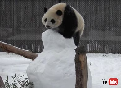 Panda Family Plays With Snowman