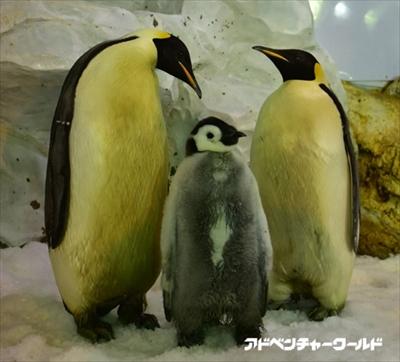 和歌山アドベンチャーワールドでペンギンの赤ちゃんラッシュ モフモフのかわい子ちゃんが全26羽