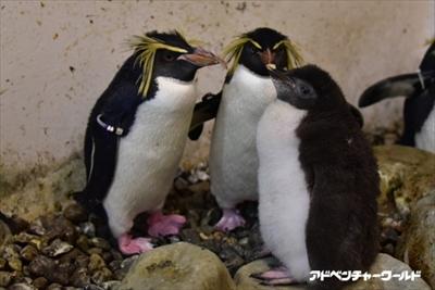 アドベンチャーワールド ペンギンの赤ちゃん