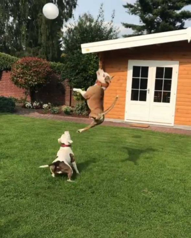 犬 風船 遊ぶ ジャンプ
