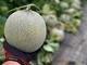 除草剤まかれメロン約6600玉被害の農園、クラウドファンディングに成功 「人生と世界観がひっくり返った」