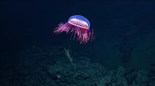 深海のクラゲ