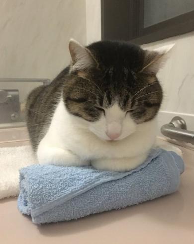 猫 丸めたタオル やりがい 枕