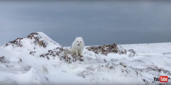 Incredible Up-close Arctic Fox Encounter