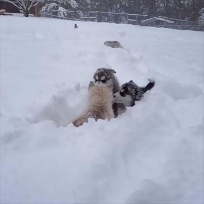 シベリアンハスキーの子犬たち