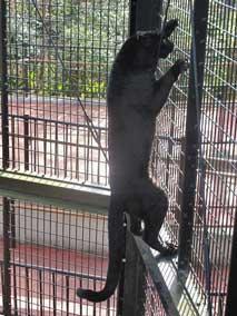 黒豹 クロヒョウ 丸 球体 平川動物公園