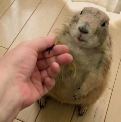 プレーリードッグ しぐさ 握手 かわいい